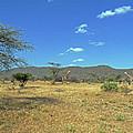 Giraffes In Samburu National Reserve by Tony Murtagh