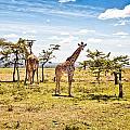 Giraffes In The African Savanna by Perla Copernik