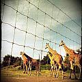 Giraffes Leave by Dan Kerr