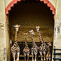 Giraffes Lineup by Marco Oliveira