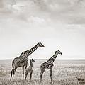 Giraffes Masai Mara Kenya by Regina Mueller