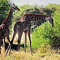 Giraffes On Savanna Eating. Safari In Serengeti by Michal Bednarek