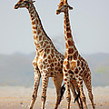 Giraffes Standing Together by Johan Swanepoel