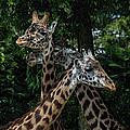 Giraffs by Eugene Carpenter