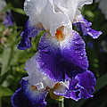 Giverny Iris by Gene Norris