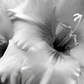 Gladiola Flowers Monochrome by Jennie Marie Schell