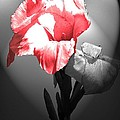 Gladiola With Heart by Cindy Manero