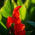 Gladiolus Flower by Alexander Senin