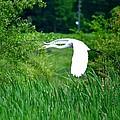 Gliding Egret by Maria Urso