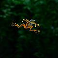 Gliding Frog In Flights by Scott Linstead