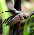 Gliding Hummingbird by Carol Groenen