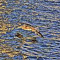 Gliding Pelican by Dan Dennison