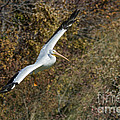 Gliding Pelican by David Cutts