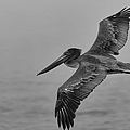 Gliding Pelican In Black And White by Sebastian Musial