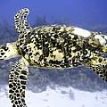 Gliding Sea Turtle by Amy McDaniel
