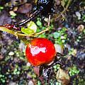 Glistening Wet Rose Hip by Roxy Hurtubise