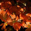 Globe-mallow Blooms  by Saija  Lehtonen