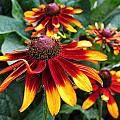 Gloriosa Daisy Waving by MTBobbins Photography
