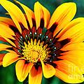 Glorious Day Yellow Flower By Diana Sainz by Diana Raquel Sainz