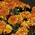 Glorious Golden Mums by Maria Urso