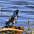 Glorious Grackle by Al Powell Photography USA