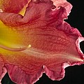 Glorious Lily by Douglas Barnett