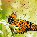 Glorious Monarch 3 by Rima Biswas