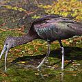 Glossy Ibis by Bruce J Robinson