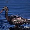 Glossy Ibis by John Harmon
