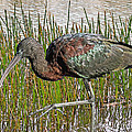Glossy Ibis by Larry Linton