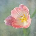 Glow Within-pink Tulip by Kim Hojnacki