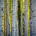 Glowing Aspens by Inge Johnsson