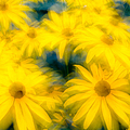 Glowing Blossoms Black Eyed Susans by Rob Huntley