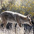 Glowing Coyote  by Eric  Nelson