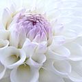 Glowing Dahlia Flower by Jennie Marie Schell