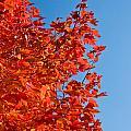 Glowing Fall Maple Colors 1 by Douglas Barnett