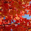 Glowing Fall Maple Colors 3 by Douglas Barnett