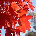 Glowing Fall Maple Colors 4 by Douglas Barnett