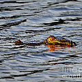 Glowing Gator by Al Powell Photography USA