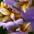 Glowing Iris' by Susan McMenamin