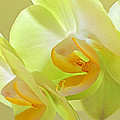 Glowing Orchid - Lemon And Lime by Gill Billington