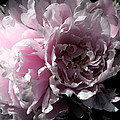 Glowing Pink Peony by Christiane Schulze Art And Photography