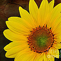 Glowing Sunflower by Kaye Menner