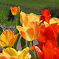 Glowing Sunlit Tulips Art Prints Red Yellow Orange by Baslee Troutman
