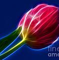 Glowing Tulip by Kaye Menner