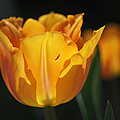 Glowing Tulips by Rona Black