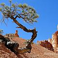 Gnarled Pine In Bryce Canyon Utah by Barbie Corbett-Newmin