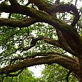 Gnarly Oak by JP Lawrence