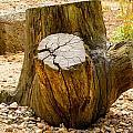 Gnarly Stump by Mair Hunt