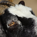 Goat 5d27189 by Wingsdomain Art and Photography